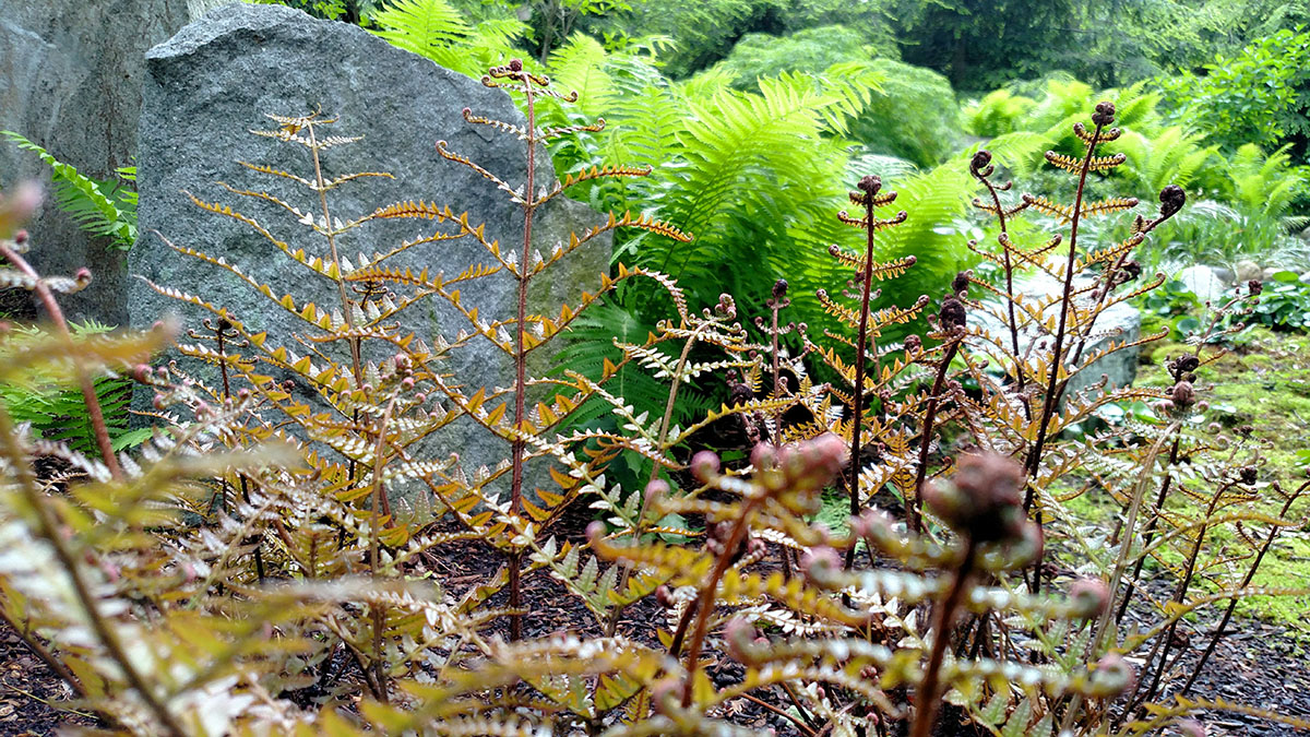 New Fronds of Autumn Fern Provide Interest in the Spring
