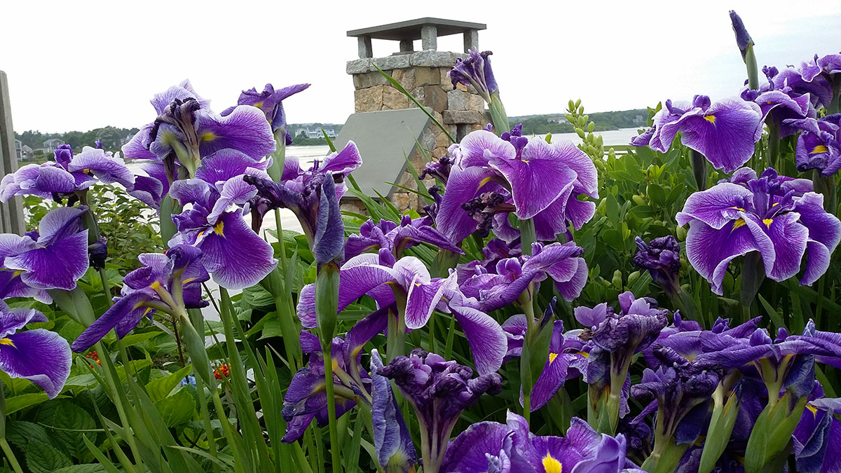 Peaking Through Hardy Irises to See the Backyard View