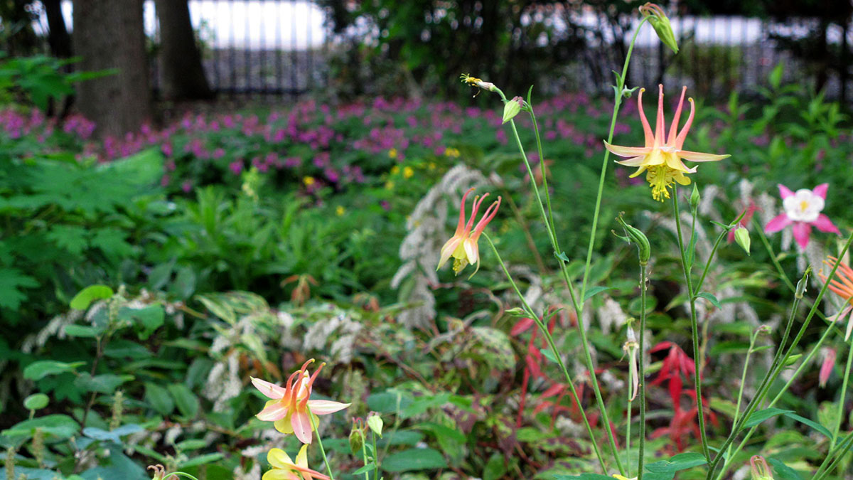 Native Columbine canadensis Brings Spring Blooms to the Garden