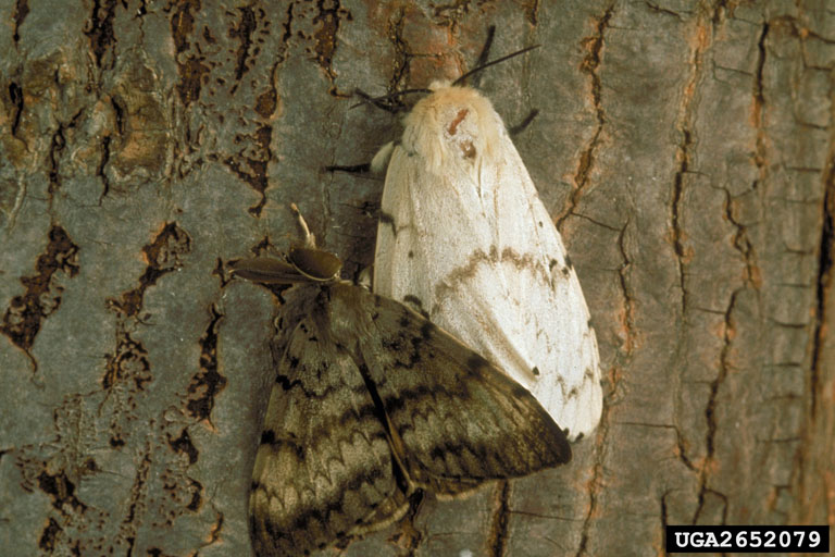 Male and Female Gypsy Moth