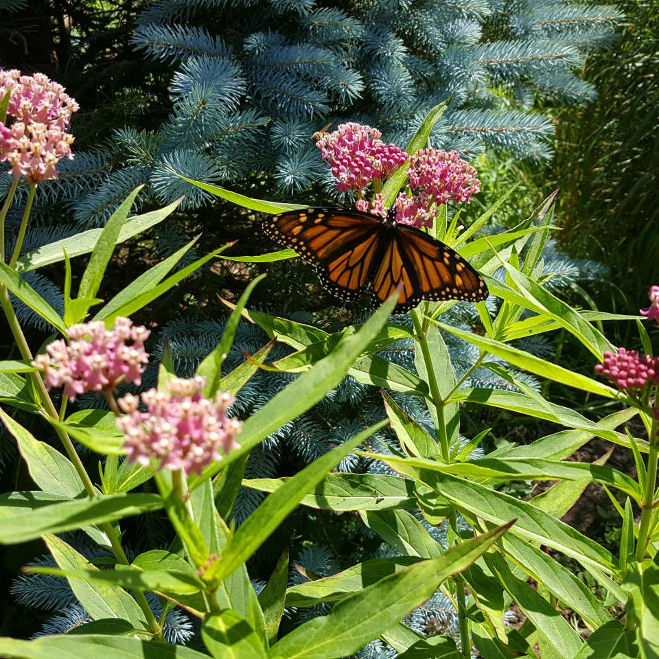 Threatened Monarch Butterfly on Milkweed